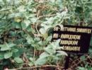 Ashwagandha -Withenia somnifera