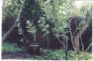 Arka - Calotropis Procera