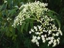 Azadirachta Indica Flowers