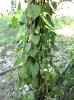 Guduchi-Tinospora Cordifolia