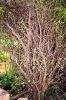 Guggul tree-Commiphora mukul
