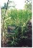 Rasna - Inula racemosa